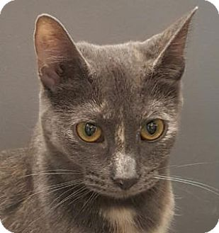Domestic Shorthair Cat for adoption in Walworth, New York - Belle2