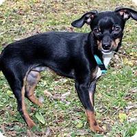 Adopt A Pet :: PUPPY LIL LOUIE - Washington, DC