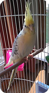 Cockatiel for adoption in Mantua, Ohio - LILEA