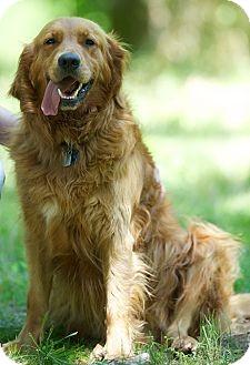 Golden Retriever Dog for adoption in Brattleboro, Vermont - Hunter