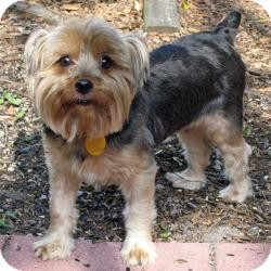 Yorkie, Yorkshire Terrier Dog for adoption in Leesburg, Florida - Teddy