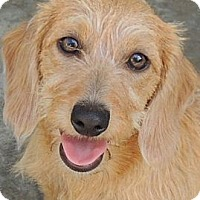 Adopt A Pet :: Rummy - La Habra Heights, CA