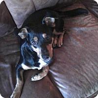 Adopt A Pet :: BOSS - EDEN PRAIRIE, MN