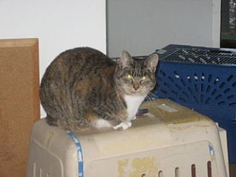 Domestic Shorthair Cat for adoption in Eugene, Oregon - CA - Cookie (CP)