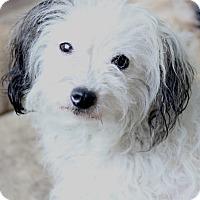 Adopt A Pet :: Lavinia - pending - Woonsocket, RI