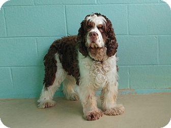Cocker Spaniel Dog for adoption in Kannapolis, North Carolina - YoYo -Adopted!