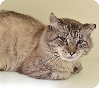 Snowshoe Cat for adoption in Salisbury, Massachusetts - Denali
