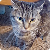 Domestic Mediumhair Cat for adoption in Davenport, Iowa - Tiny and Tiger