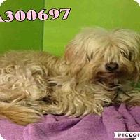 Adopt A Pet :: PELUCHE - San Antonio, TX