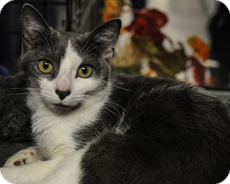 Domestic Shorthair Kitten for adoption in Wayne, New Jersey - Courtney