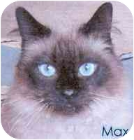 Himalayan Cat for adoption in cincinnati, Ohio - Max