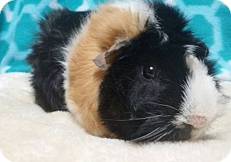 Guinea Pig for adoption in South Bend, Indiana - Buddy