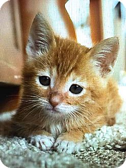 Domestic Shorthair Kitten for adoption in san diego, California - Biscuit