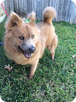 Chow Chow Dog for adoption in San Antonio, Texas - Panchita