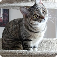Domestic Shorthair Cat for adoption in Acme, Michigan - Selina Kyle