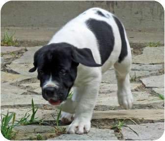 Great Dane/Newfoundland Mix Puppy for adoption in Woodstock, Illinois ...