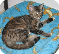 Domestic Shorthair Kitten for adoption in Shelton, Washington - Miss Katie