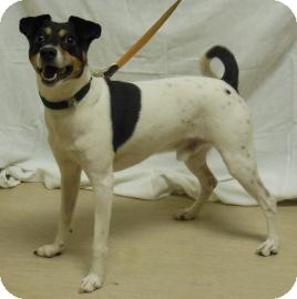 Jack Russell Terrier Mix Dog for adoption in Gary, Indiana - Marshell