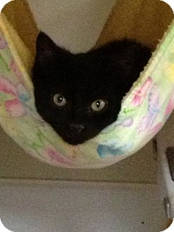 Domestic Shorthair Kitten for adoption in Monroe, Georgia - Prissy