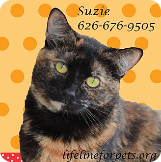 Domestic Mediumhair Cat for adoption in Monrovia, California - Cutie SUZIE!