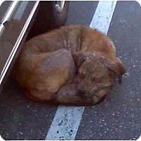 Adopt A Pet :: Jo Jo - Los Alamitos, CA