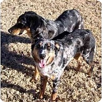 Adopt A Pet :: AUSSIES IN NEED - Scottsdale, AZ
