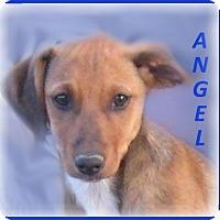 Adopt A Pet :: Angel-Adoption Pending - Marlborough, MA