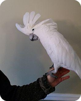 Cockatoo for adoption in Hightstown, New Jersey - Koko