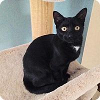 Adopt A Pet :: Velvet - Colmar, PA