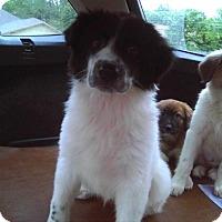 Adopt A Pet :: Applejack - Enfield, CT