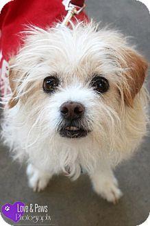 Terrier (Unknown Type, Medium) Mix Dog for adoption in Phoenix, Arizona - Amos