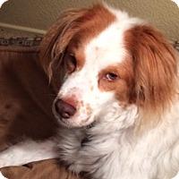 Adopt A Pet :: CA(LA)/Brittany - Oroville, CA