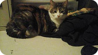Domestic Shorthair Cat for adoption in Toronto, Ontario - Marla