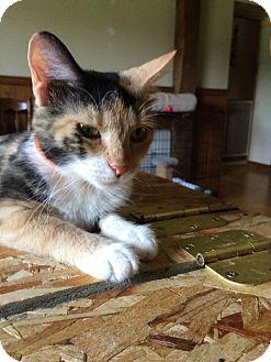 Domestic Shorthair Cat for adoption in Salem, Ohio - stella