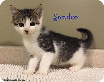Domestic Shorthair Kitten for adoption in Huntsville, Ontario - Sandor - Adorable Boy!