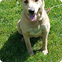 Labrador Retriever/Husky Mix Dog for adoption in Quincy, Indiana - Blondie