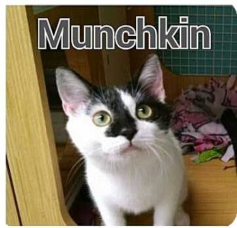 Domestic Shorthair Kitten for adoption in Cumberland and Baltimore, Maryland - Munchkin & Sugar