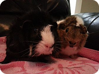 Guinea Pig for adoption in Harleysville, Pennsylvania - Fern and Evie