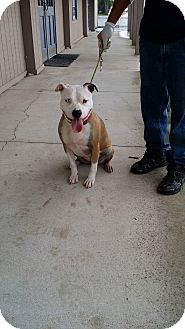 Pit Bull Terrier/Bulldog Mix Dog for adoption in fort wayne, Indiana - Zoei