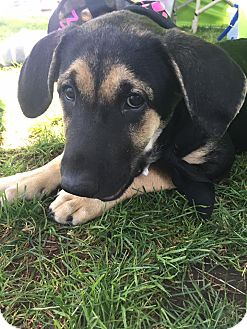 Shepherd (Unknown Type)/Rottweiler Mix Puppy for adoption in San Diego, California - Parker