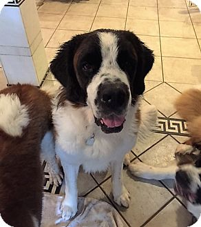 St. Bernard Dog for adoption in McKinney, Texas - Buster