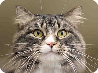 Domestic Mediumhair Cat for adoption in Pittsburgh, Pennsylvania - BOOTS
