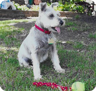 Miniature Schnauzer Dog for adoption in Sharonville, Ohio - Maxwell~~ADOPTION PENDING