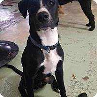 Adopt A Pet :: Puppy Leo - Brattleboro, VT