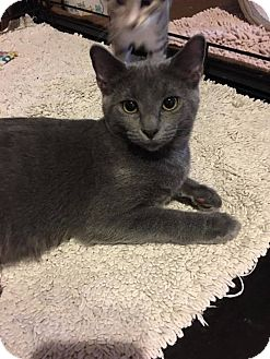 Russian Blue Cat for adoption in Fort Worth, Texas - Storm