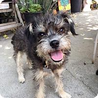 Adopt A Pet :: Banjo - beverly hills, CA