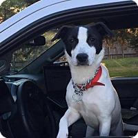 Adopt A Pet :: Roxy - Wylie, TX
