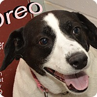 Adopt A Pet :: Oreo - Richmond, MO