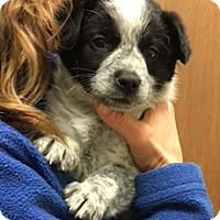 Adopt A Pet :: Rudy - Schaumburg, IL