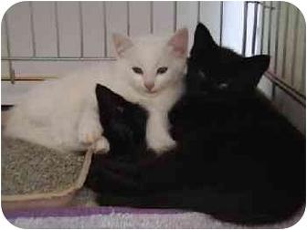 Domestic Shorthair Cat for adoption in Merrifield, Virginia - Inky's Shadow